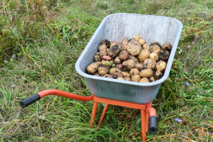 Harvest raw potatoes in a wheelbarrow outdoors